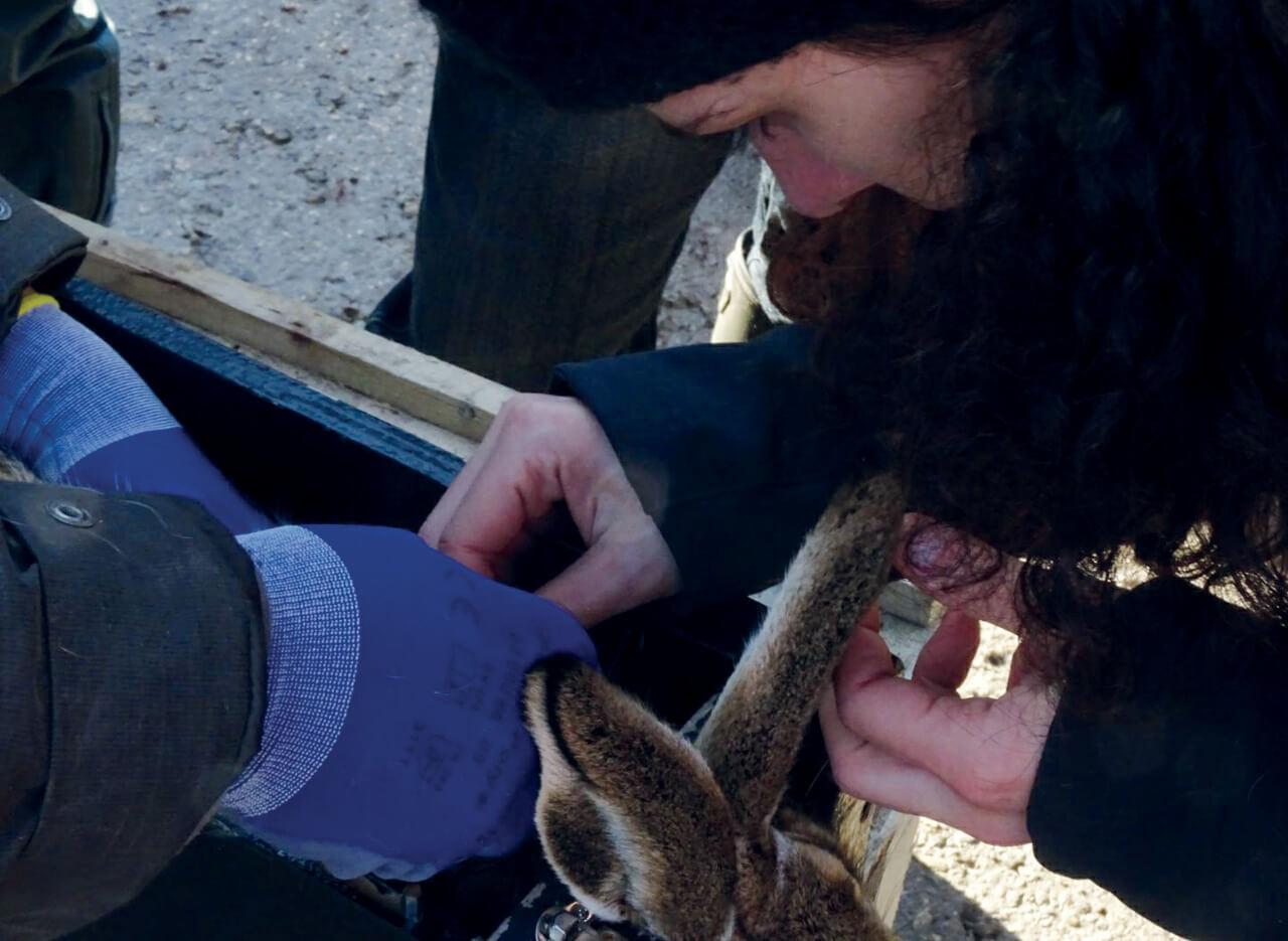 Cattura della lepre