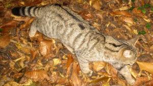 Gatto selvatico - Foto Museo civico di Meldola